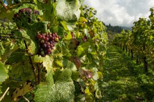 A Vineyard with grapes